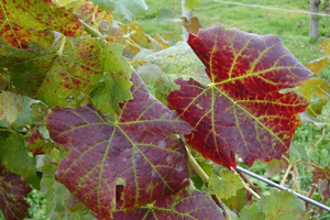 Reddening of the leaves and green veins are clear indicators of grapevine leafroll virus. Photo by Annemiek Schilder, MSU.