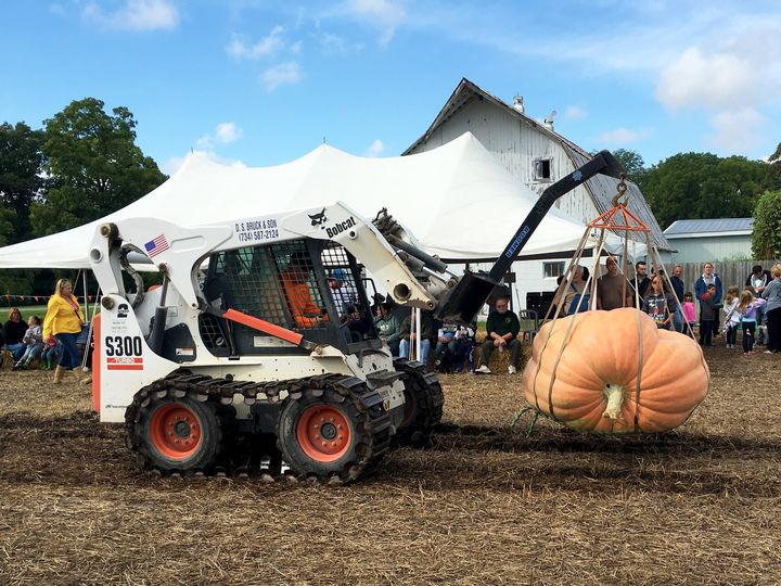A skid loader with a specialized harness for lifting thousand-pound pumpkins. Getting giant pumpkins around often involves machines like this as well as pallets and trailers. All photos: Marissa Schuh, MSU Extension.
