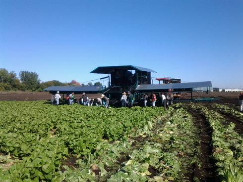 Lettuce harvest underway with many employees. Photo: Ben Phillips, MSU Extension.