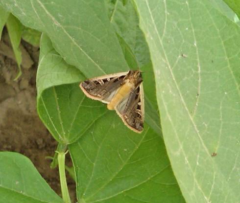 western bean cutworm moth resting in dry bean canopy all photos by fred springborn msu extension