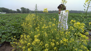 Zsofia Szendrei looks at a mustard plot in a cucumber field.