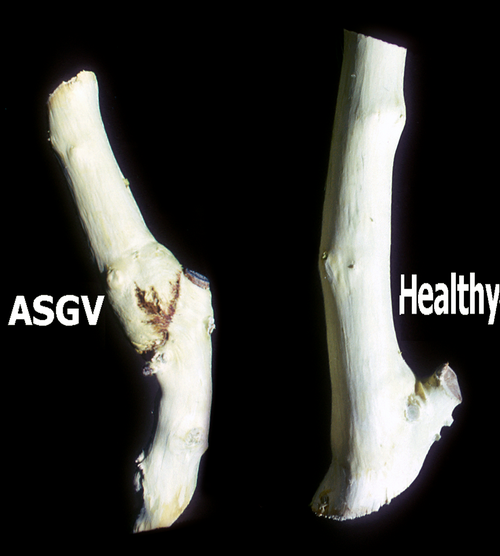 Apple stem grooving virus: Union necrosis and swelling above the graft union.