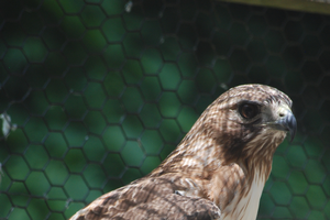 Get to know the W.K. Kellogg Bird Sanctuary's ambassador birds of prey