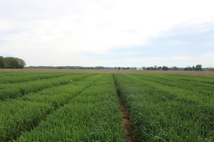Conventional drill versus precision planting in wheat: What do we know so far?