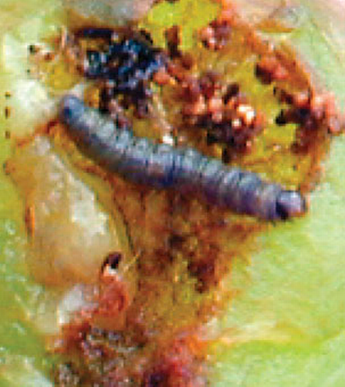 Mature larva.