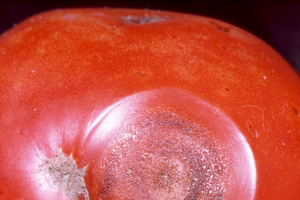 Tomato anthracnose: When those prized, ripe tomatoes go bad
