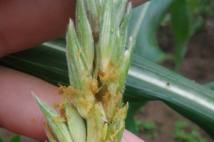 European corn borer resistance confirmed to Cry1F Bt corn