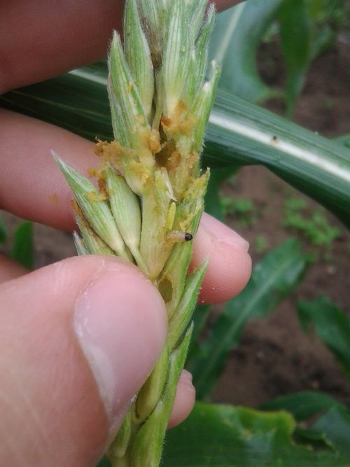 European corn borer damage to a fresh sweet corn tassel