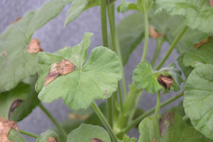 Photo 1. Leaf spots on geranium caused by blossom drop. All images courtesy of Mary Hausbeck, MSU.