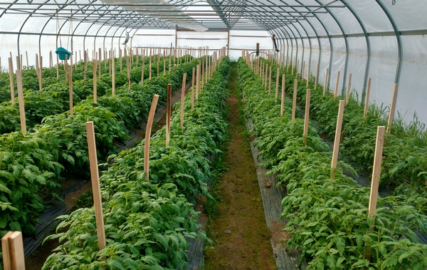 Great looking Mountain Fresh hoophouse tomatoes on April 13, 2016. All photos by Ben Phillips, MSU Extension.
