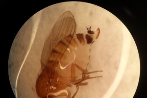 Female SWD seen through a microscope with characteristic ovipositor visible at the tail end. Females outnumber males caught in traps 2 to 1. It's critical to look for female SWD in cup traps to make management decisions. Photo by Danielle Kirkpatrick, MSU.