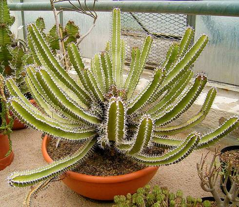 Euphorbia succulents. Photo credit: Frank Vincentz, Wikimedia Commons