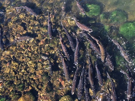 Salmon run offers unique fish-watching opportunities for