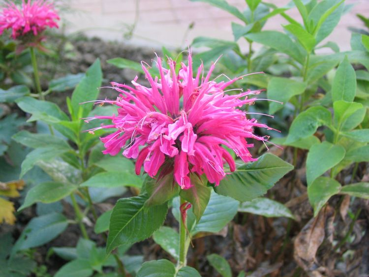 Bee balm. Photo credit: Alan Silvester, Wikimedia Commons