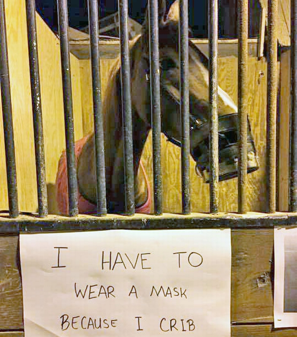 Shoc reluctantly displays a sign about his cribbing habit on the front of his stall. Image courtesy of Sophie Lourenco.