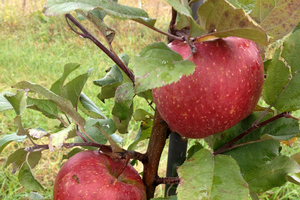 Southwest Michigan apple maturity report – Oct. 21, 2020