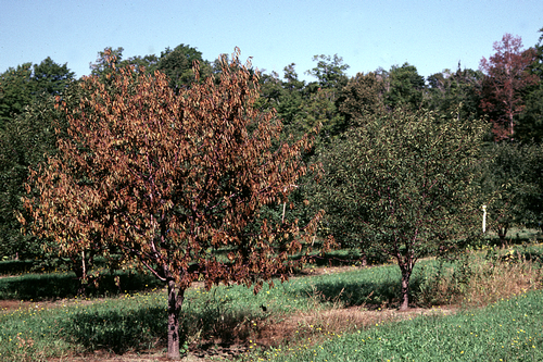 Infected trees often have a normal bloom, but tree shows a general decline and eventually dies.
