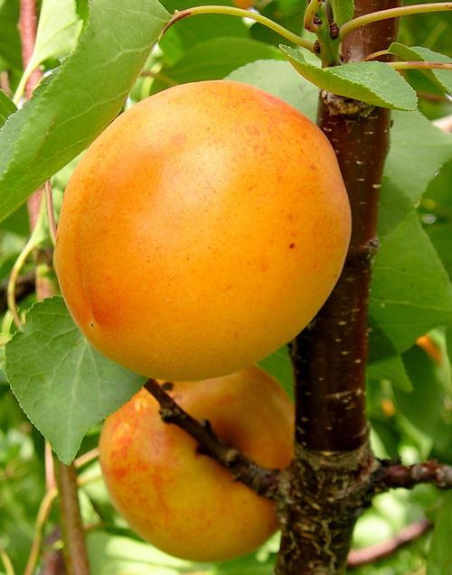 Ripe apricot fruit will be available in southwest Michigan for another week or so. Photo: Mark Longstroth, MSU Extension.