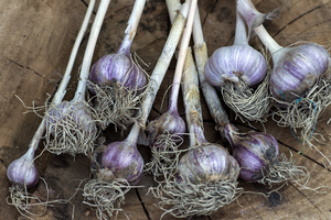 Fall is the time to enjoy and plant Michigan garlic