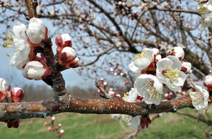 Southwest Michigan fruit update – April 6, 2021