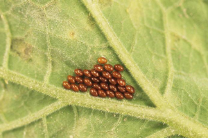 Squash bug eggs are copper-colored and laid in easily noticed masses. Photo by Gerald Holmes, California Polytechnic State University at San Luis Obispo, Bugwood.org.