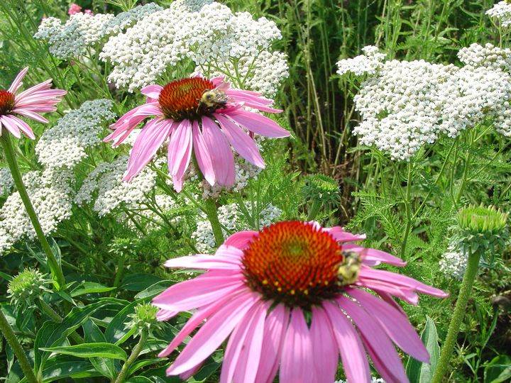 Yarrow and Echinacea are popular flowering native plants.