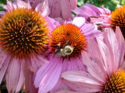 Common eastern bumble bee on a purple coneflower