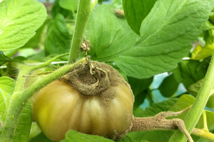 East Michigan vegetable update – June 19, 2019