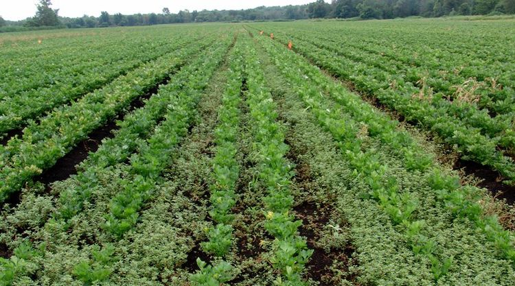 Celery field with purslane