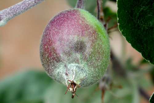 Lesions on fruit have indistinct margins similar to those found on leaves.
