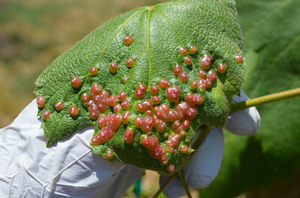 MSU Extension's vineyard pest scouting reports for 2019
