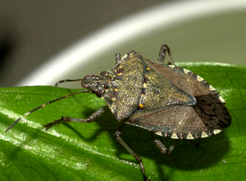 Brown marmorated stink bug adult.