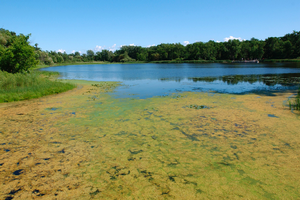 Aquatic plants growing along the shallow shoreline areas. | Michigan Sea Grant