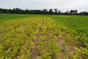 Manganese deficiency in a soybean field with coarse-textured soil. All photos by Mike Staton, MSU Extension.