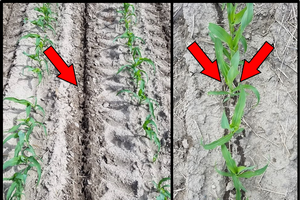 Figure 1. Coulter-inject (left) compared to Y-drop (right) N sidedress application methods. Arrows indicate N placement. Coulter-inject placed N 4 inches deep directly in-between 30-inch corn rows while Y-drop placed N on soil surface near growing plant.