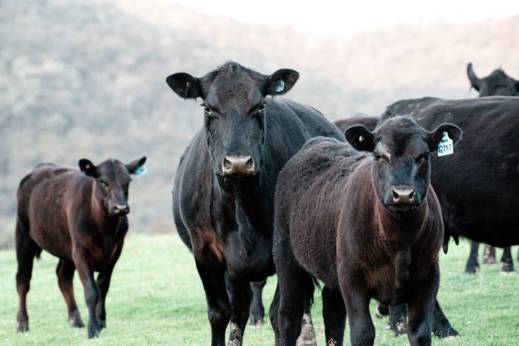 black angus cows in a pasture