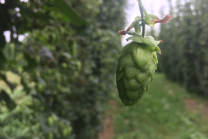 Picture of a hop plant