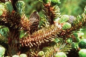 Christmas tree pest management webinar series starts Feb. 6