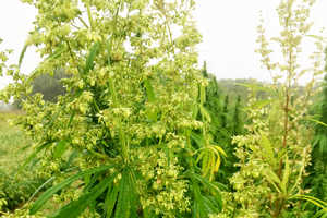 Field Crops Virtual Breakfast focuses on industrial hemp production
