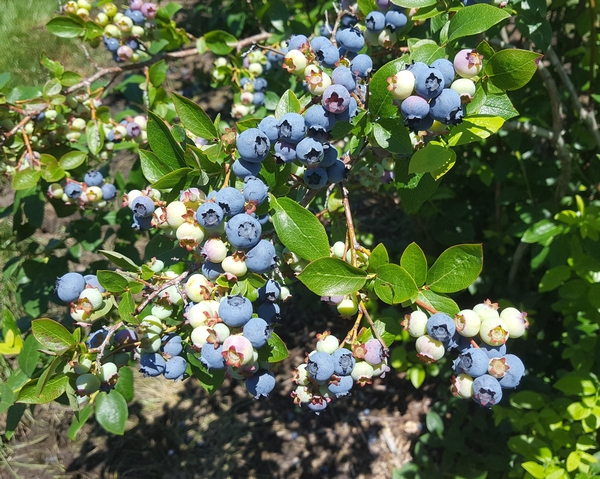 These Bluetta Blueberries ripened quickly in the heat and blueberry harvest is well underway.