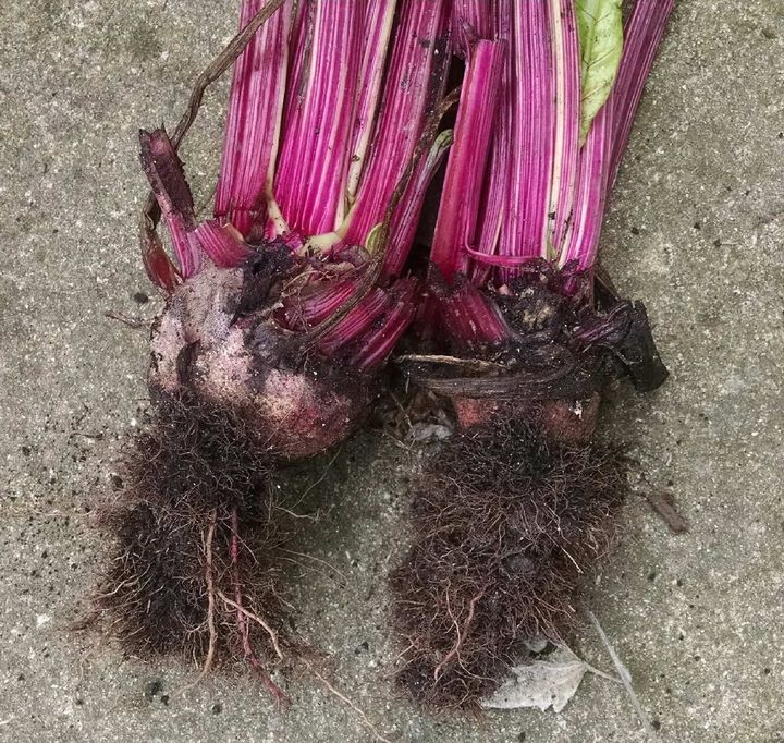 Red beets infected with Rhizomania