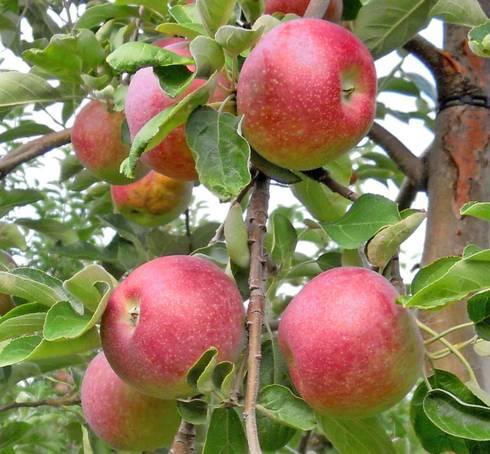 Growing Backyard Tree Fruit Takes A Commitment To Soil Preparation And Multiple Years Of Care Before You Can Harvest Crop Some Fruits Double As