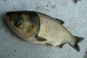 Sea Grant report on Asian carp includes educational resources