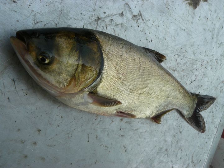 The Silver Carp is one of four Asian carp species that threaten Great Lakes waters.