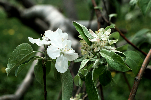 Infected blossoms may fail to set fruit.