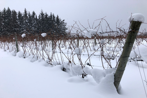 Thirty-six inches of snow insulate the trunks and cordons of grapevines grown on Leelanau Peninsula on Jan. 4, 2018. Photo by Thomas Todaro, MSU Extension.