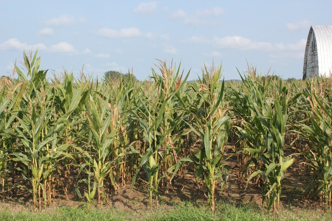 Tar spot-impacted corn field
