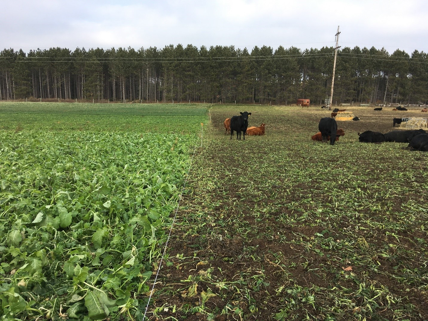 Cows grazing in cover crops