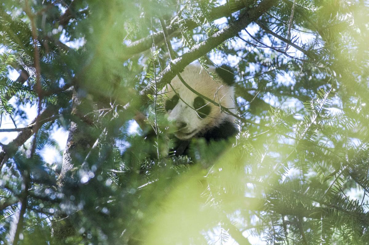 Young panda in tree in China's  Wolong Nature Reserve