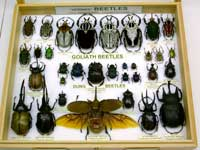Oh my beetles tray